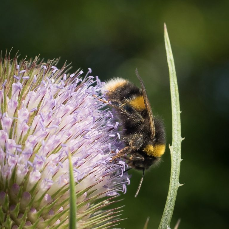 Bumble bee on Teasel Head