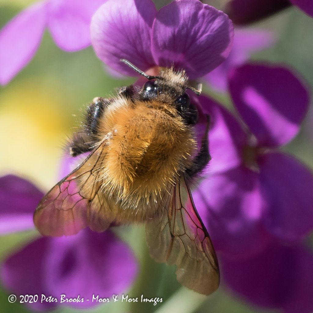 Bumble bee on Honesty