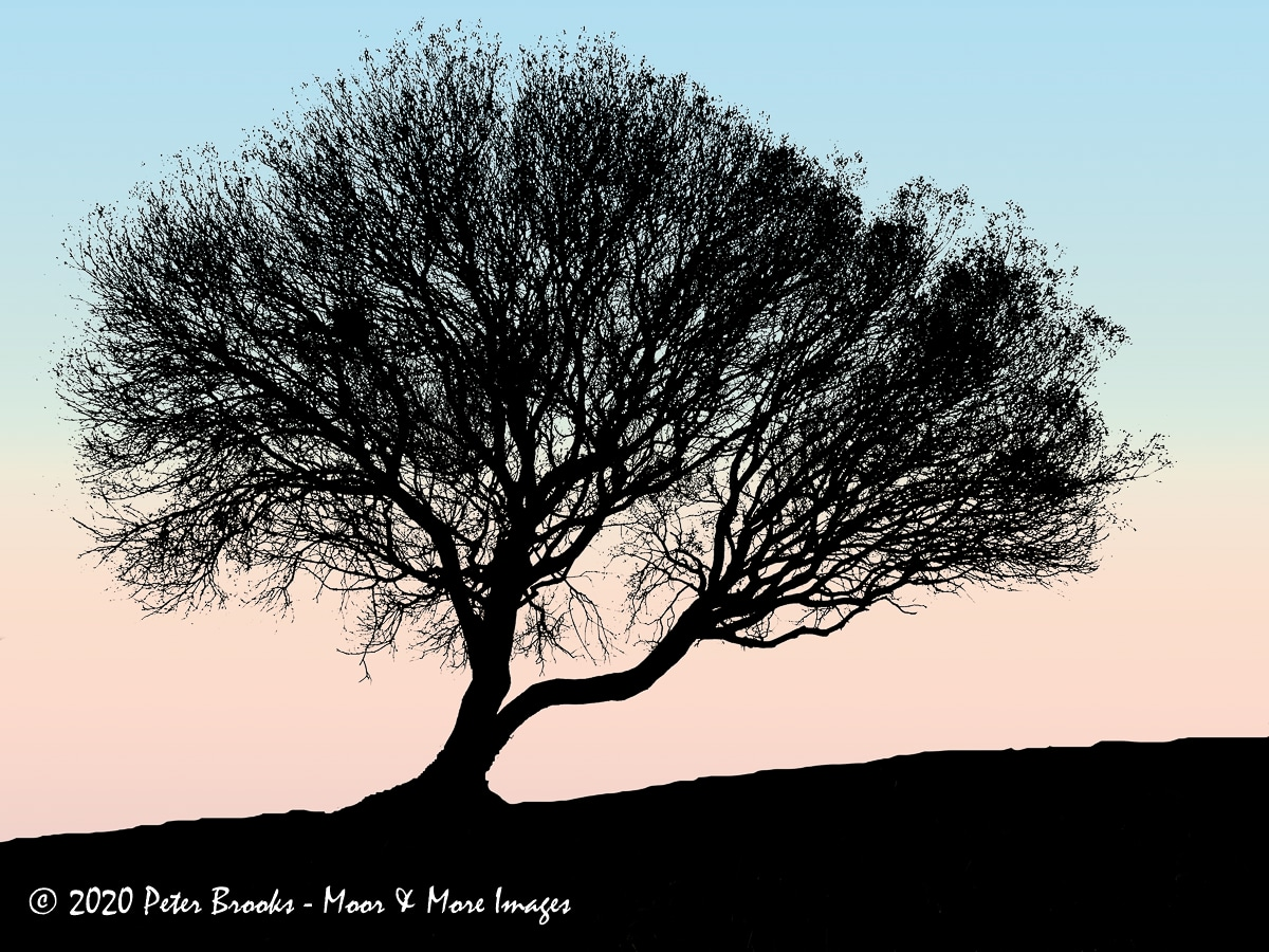 Image of a tree on Plaster Down, Dartmoor, in the style of a linocut