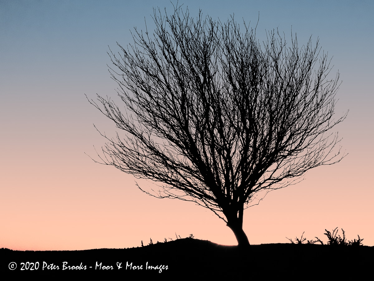 Image of a tree on Cator Common, Dartmoor, in the style of a linocut